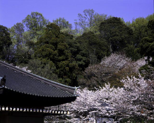桜満開の安倍文殊院