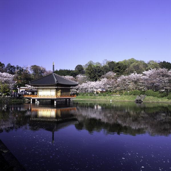 安倍文殊院の桜